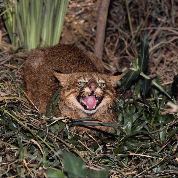 Пампасская кошка рычит
