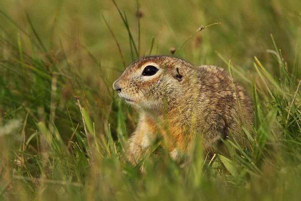 Мелкий грызун в траве