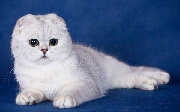 Белый шотландский котёнок