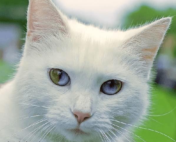 Кошка као-мани