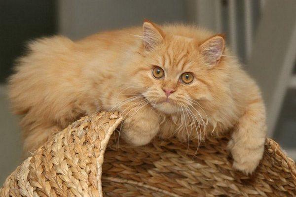 Пушистый кот лежит на корзине