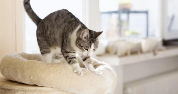 Кот «топчет» свою лежанку