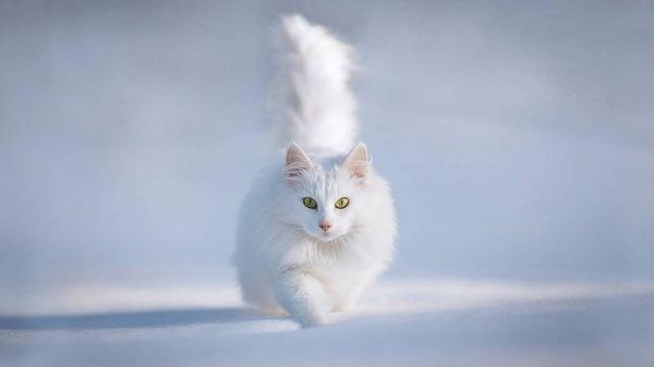 Белая кошка на снегу