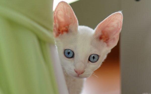 Белая кошка выглядывает