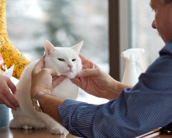 Белая кошка у ветеринара