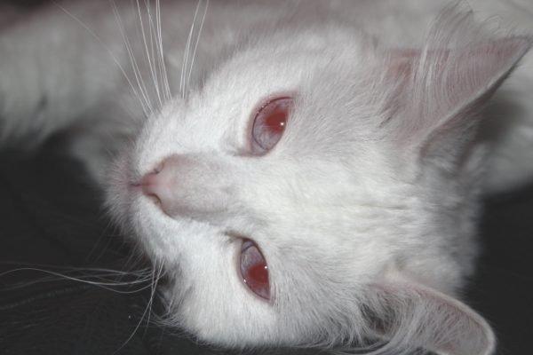 Белая кошка альбинос