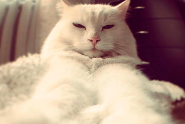 Толстый кот альбинос