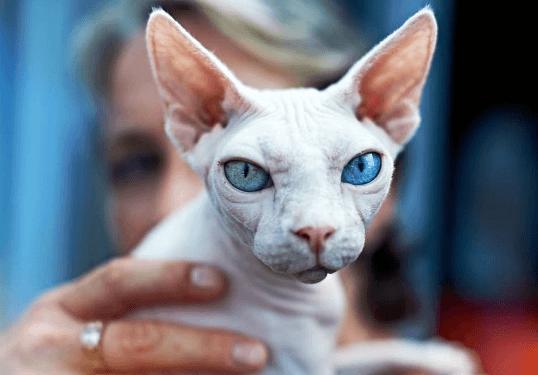 Белая кошка с хозяйкой