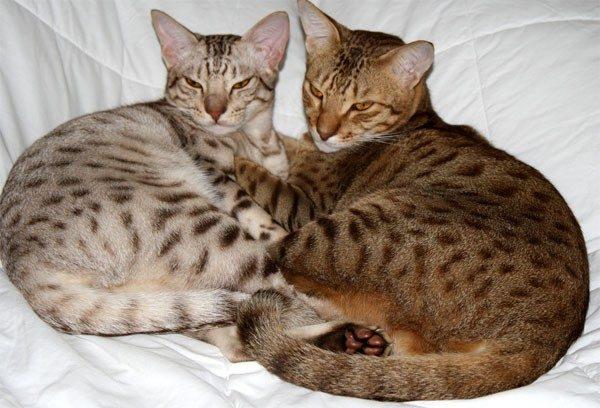 Две бенгальские кошки