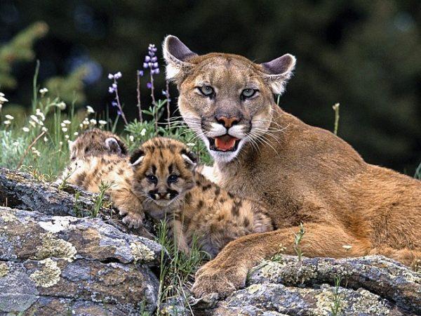 Пума с детёнышами