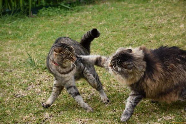 Коты дерутся на лужайке