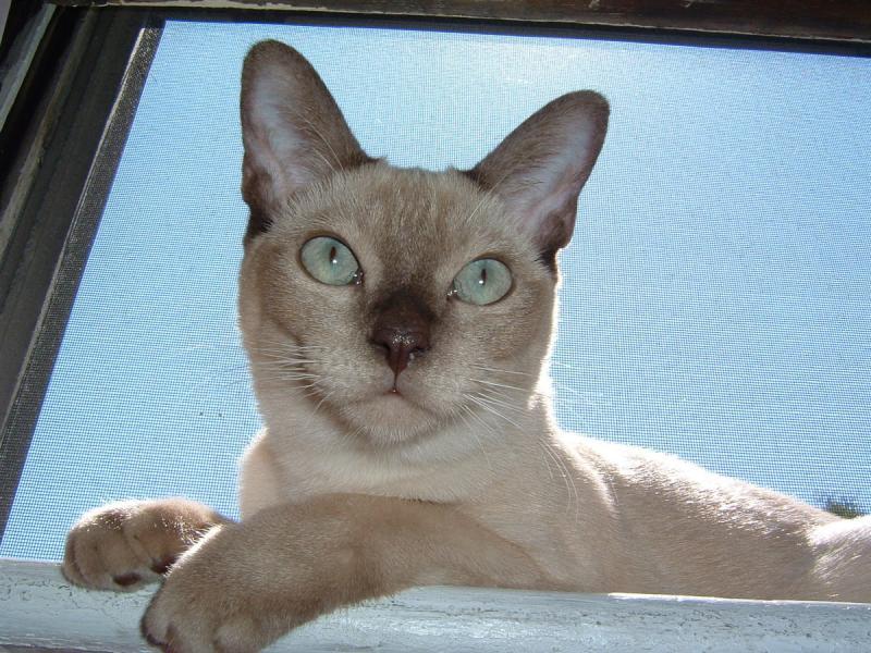 Тонкинская кошка описание породы и характера особенности ухода