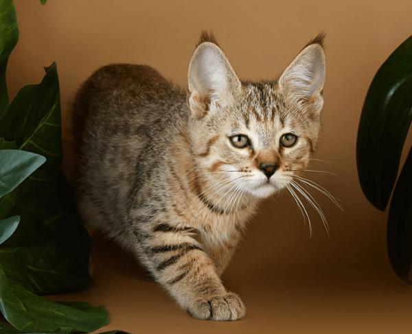 Пикси-боб кот