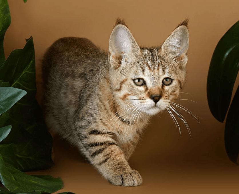 прикус домашняя рысь порода кошек фото веселый паровозик