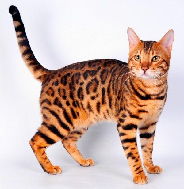 Тойгер кот