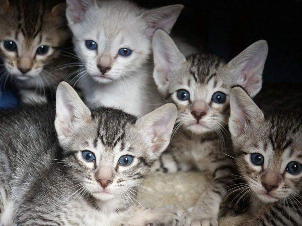 Серенгети котята