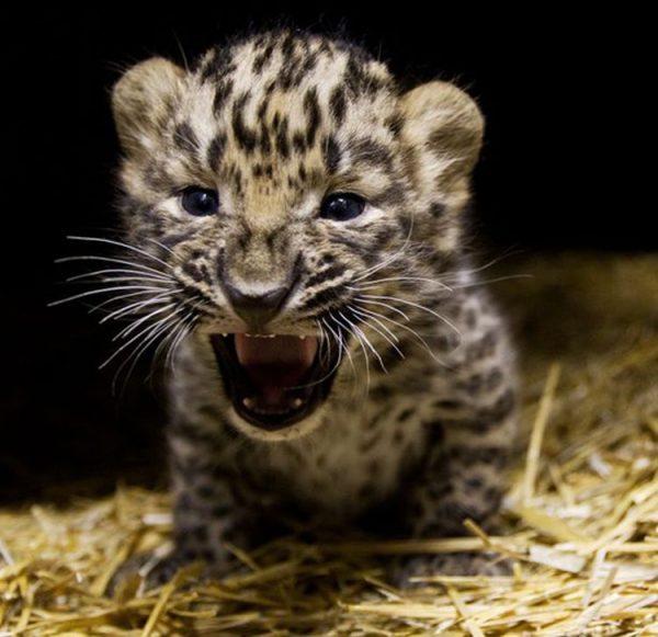 Котёнок леопарда
