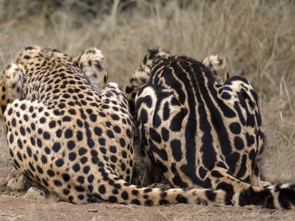 Королевский и обычный гепарды