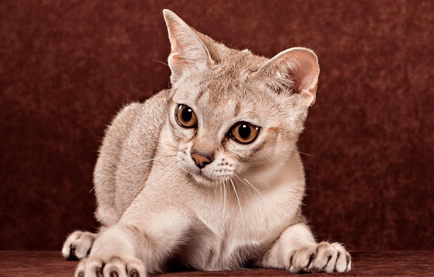 Сингапурская кошка картинка