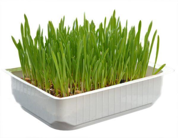 домашняя трава для кошек