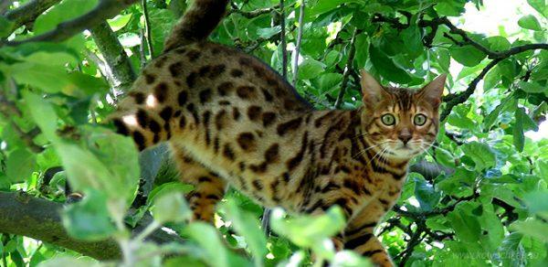 Уссурийская кошка на дереве