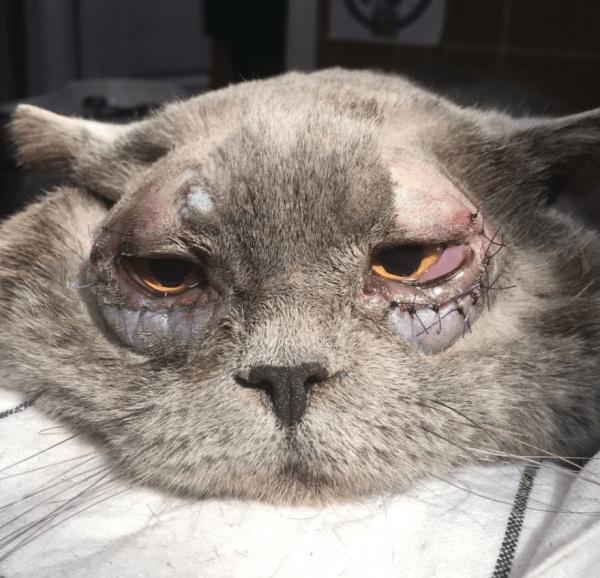 Заворот век у кошек после операции