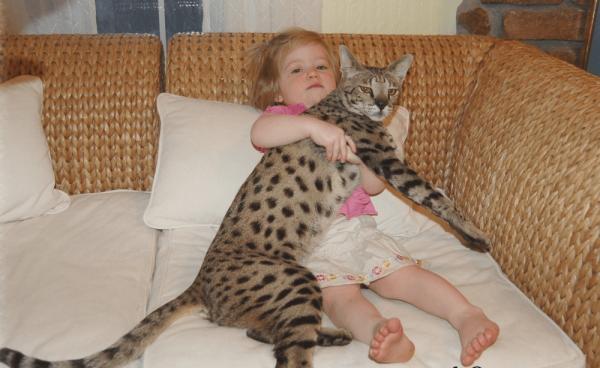 Кошка саванна с ребёнком