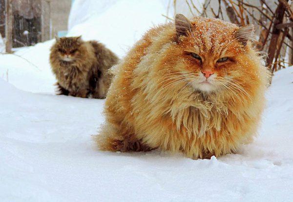 Сибирская кошка на снегу