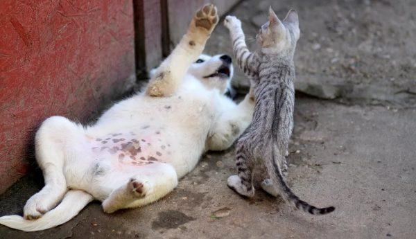Котёнок играет со щенком