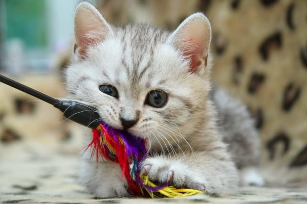 Котёнок кусает игрушку