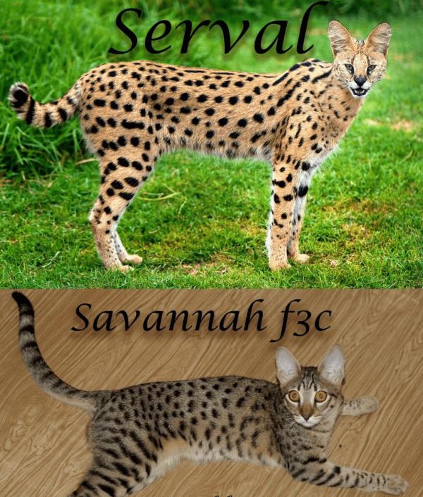 Сервал и саванна