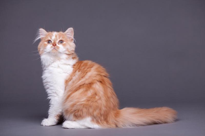 Хайленд-страйт (шотландская прямоухая длинношерстная кошка): описание породы