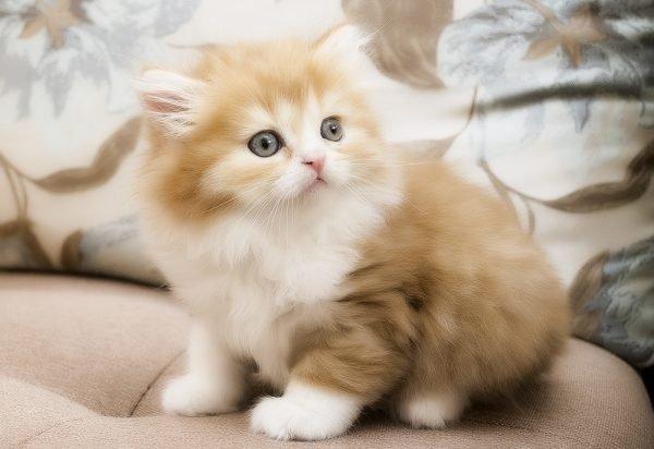 Котёнок хайленд страйт