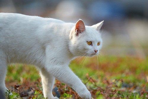 Белый кот идёт