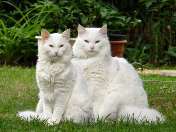 Белые кот и кошка