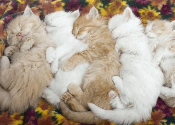Пятеро котят
