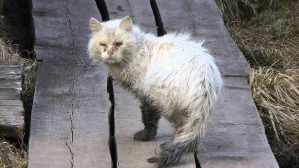 Грязный белый кот