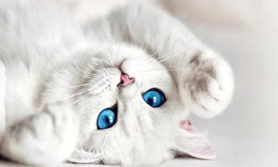 Белая кошка лежит