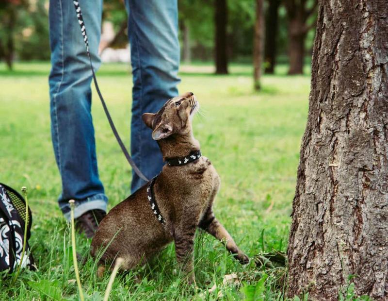Как надеть шлейку на кошку: пошаговая инструкция с фото, как одевать ошейник и поводок на кота для прогулки, полезные видео