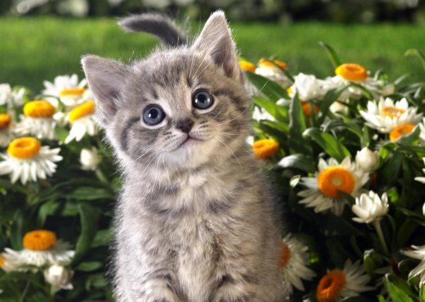 Котёнок сидит среди ромашек