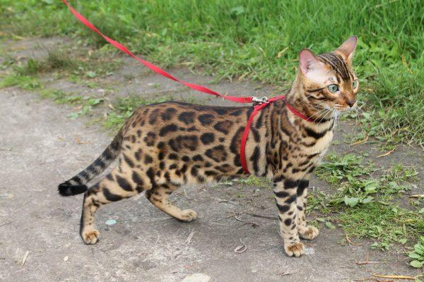 Кошка в Н-образной шлейке