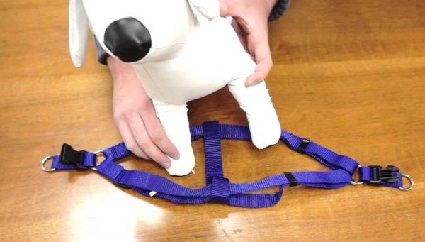 Процесс одевания шлейки