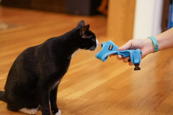 Кошка обнюхивает шлейку