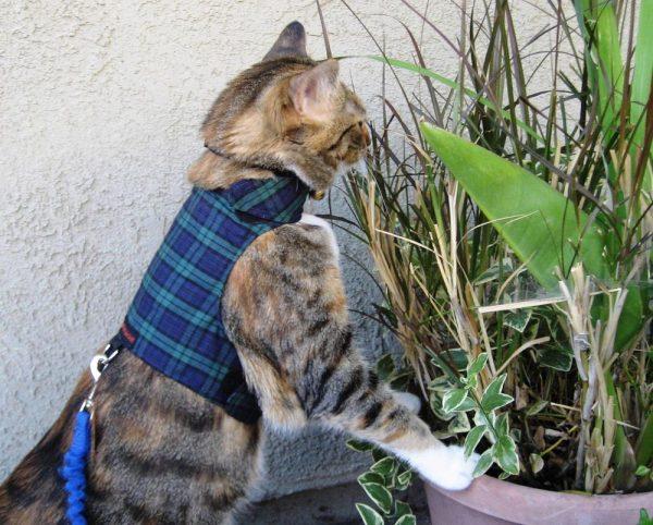 Кошка в шлейке-жилетке