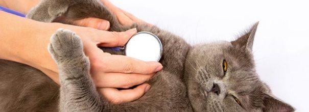 Кота выслушивают фонендоскопом