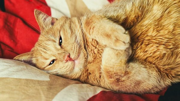 Сонный рыжий кот лежит