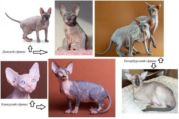 Коллаж с разными видами сфинксов