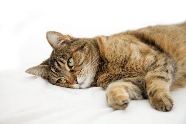 Кот лежит на простыне