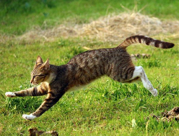 Серый кот убегает