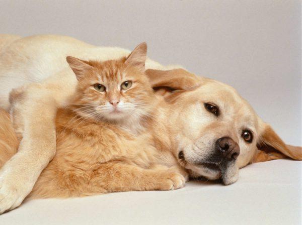 Рыжие кот и собака лежат вместе